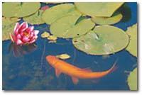 Valenta aquaristik fischbesatz for Fischbesatz teich